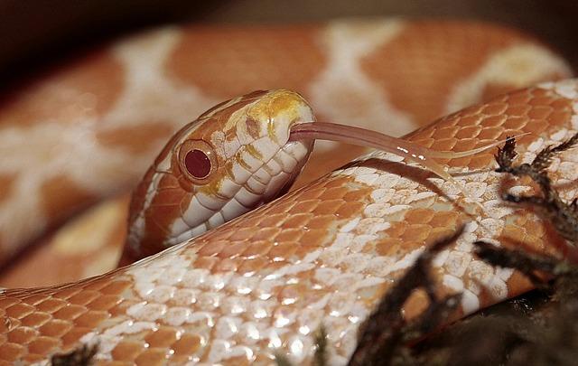 corn-snake-413072_640